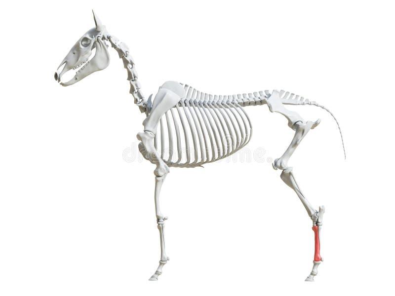 Equine скелет - третий metatarsal иллюстрация вектора