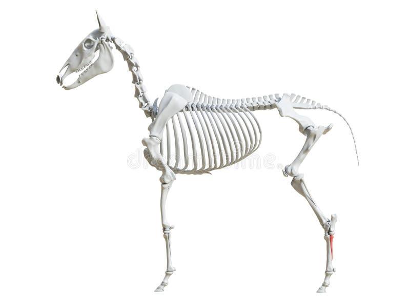 Equine скелет - четвертый metatarsal иллюстрация штока