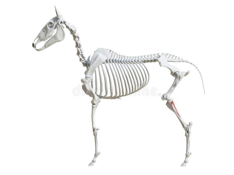 Equine скелет - fibula иллюстрация штока