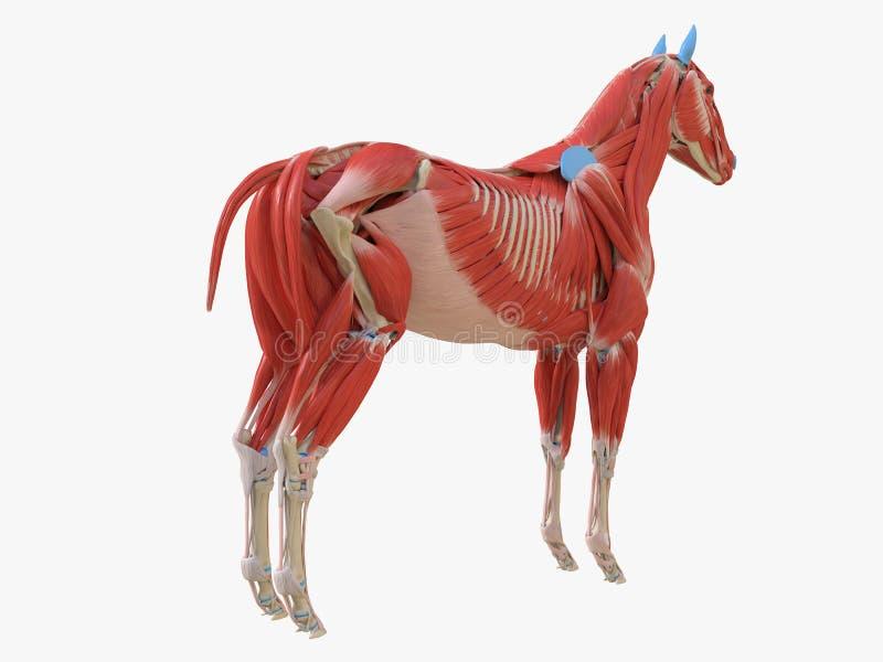 equine анатомия мышцы иллюстрация штока