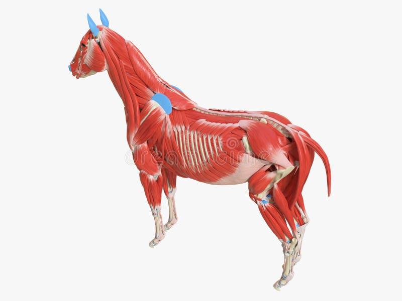 Equine анатомия мышцы иллюстрация вектора
