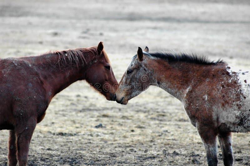 equine förälskelse arkivfoton