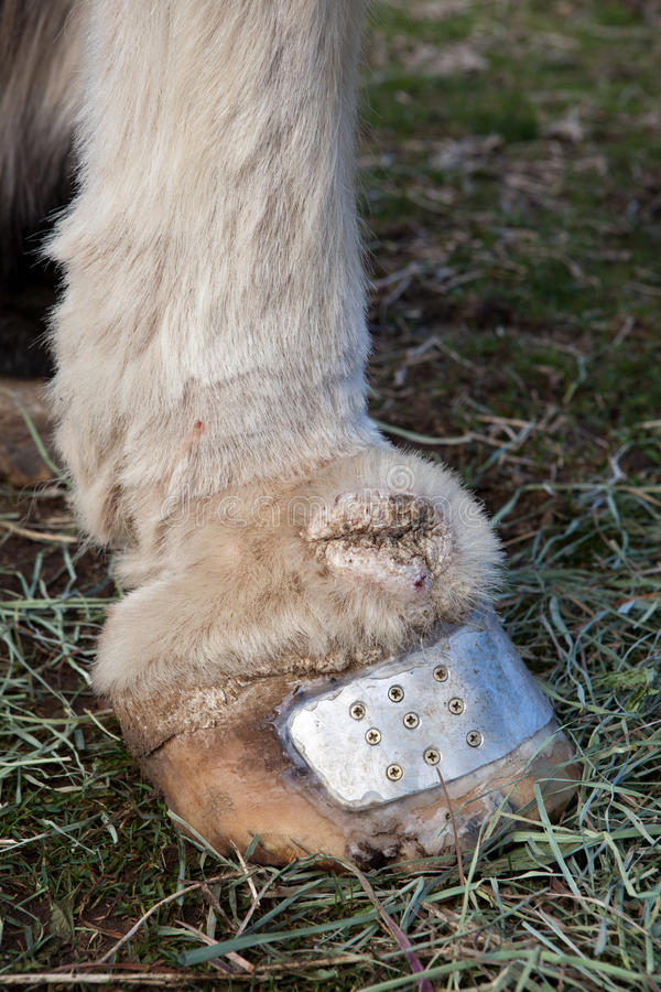 Equine lymphedema. Equine chronic progressive lymphedema in Draft Horse, CPL stock image