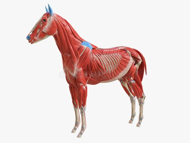 equine mi?sie? anatomia ilustracji