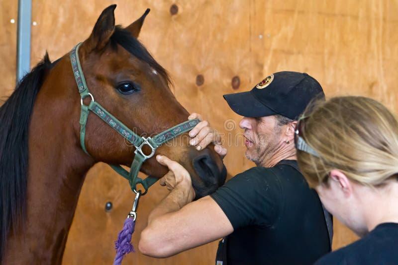 Equine osteopath диагностирует пациента стоковая фотография