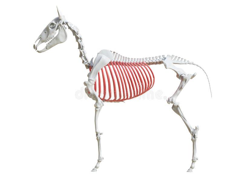 The equine skeleton - ribs. 3d rendered medically accurate illustration of the equine skeleton - ribs stock illustration
