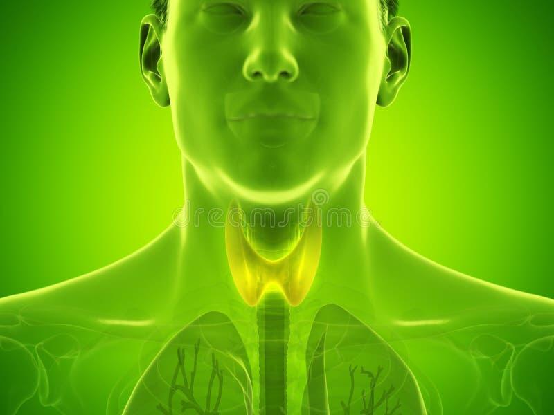 Equipa a gl?ndula de tiroide ilustração do vetor