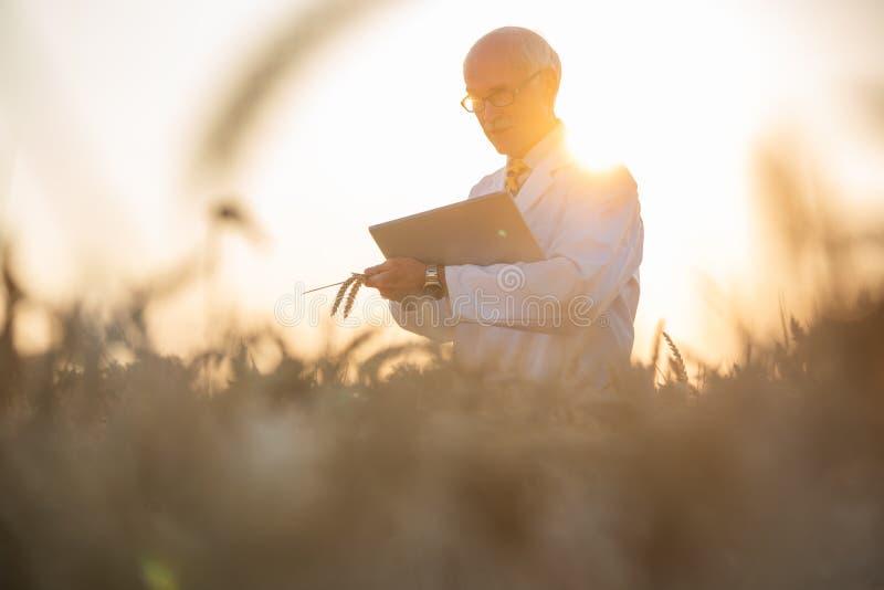 Equipaggi effettuare la ricerca su grano geneticamente modificato nel giacimento di grano immagine stock libera da diritti
