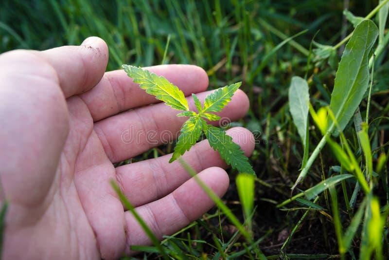 Equipaggi la mano del ` s che tiene la giovane pianta della cannabis che cresce all'aperto Medicina naturale fotografia stock