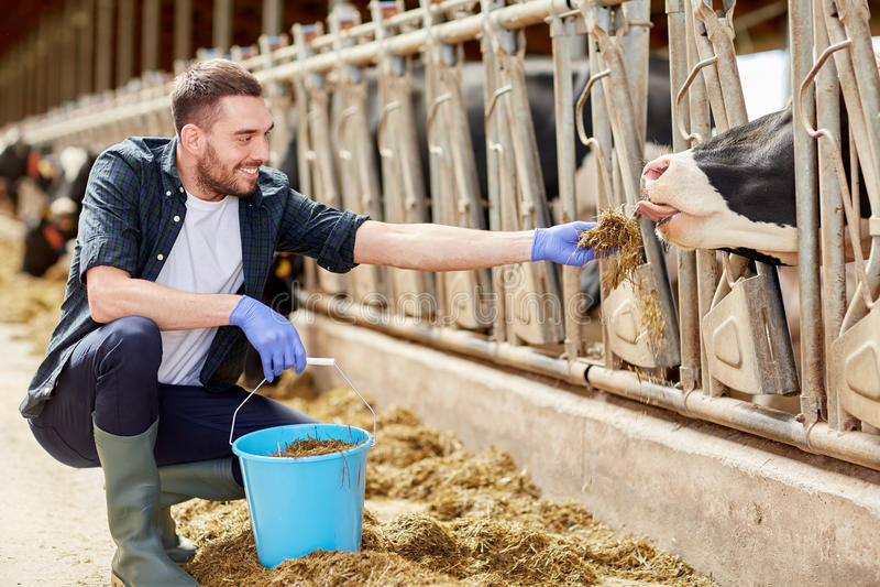Equipaggi le mucche d'alimentazione con fieno in stalla sull'azienda lattiera immagine stock