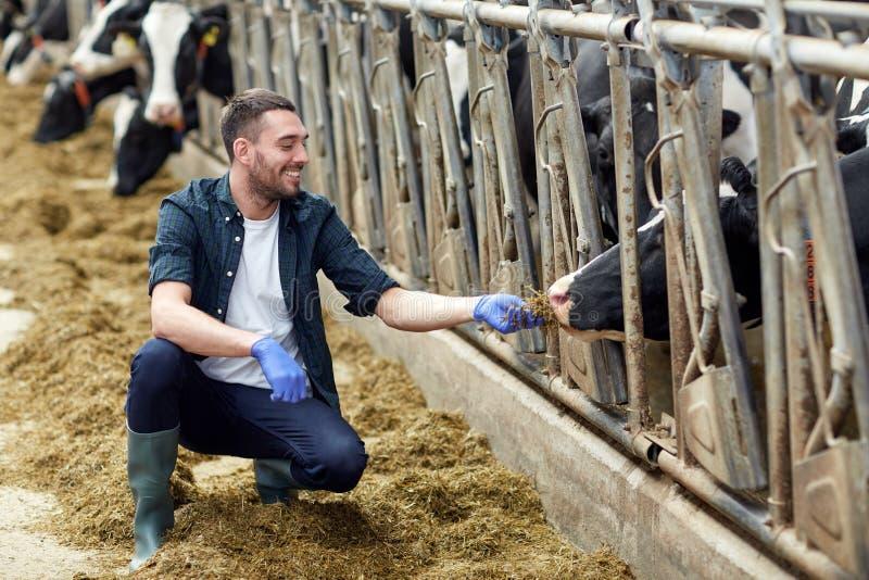 Equipaggi le mucche d'alimentazione con fieno in stalla sull'azienda lattiera fotografie stock