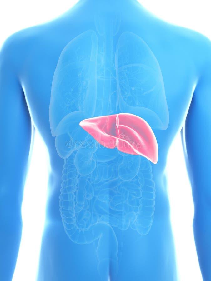 Equipaggia il fegato illustrazione vettoriale
