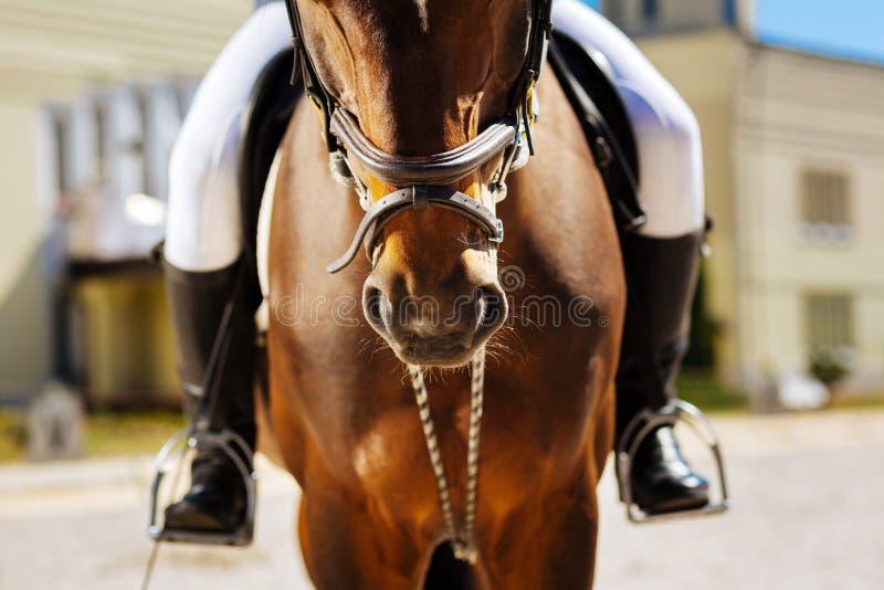 Equipe a calças branca vestindo e as botas de equitação pretas que sentam-se no cavalo fotos de stock royalty free