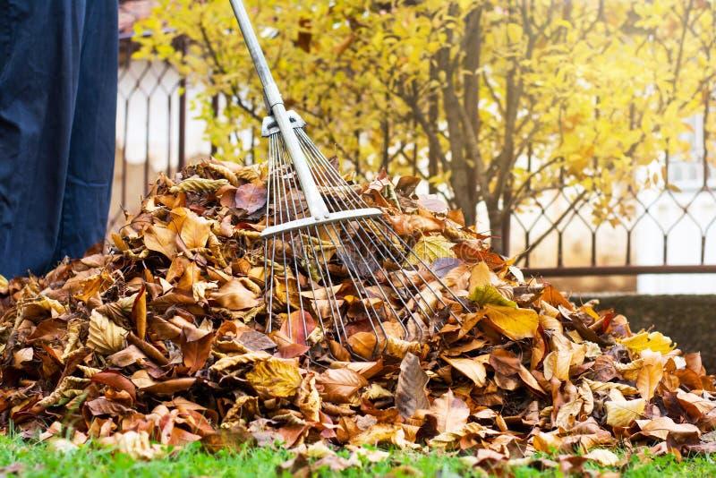 Equipe a coleta opinião caída da pessoa das folhas de outono da primeira fotografia de stock