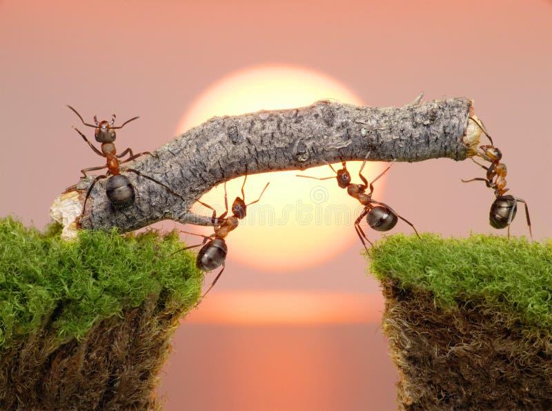 Equipe das formigas que constroem a ponte, trabalhos de equipa fotos de stock