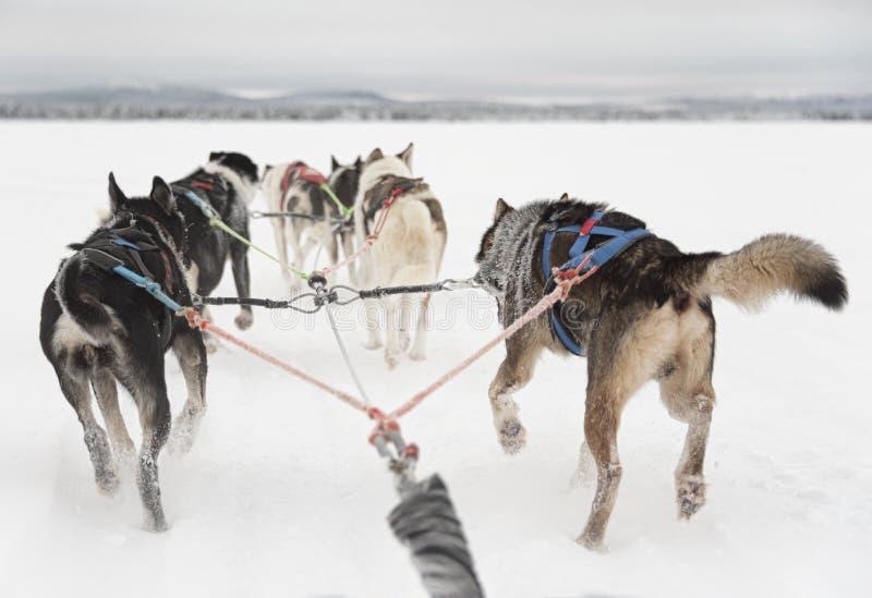 Equipe de seis cães de puxar trenós que esperam para correr e puxar um trenó imagens de stock royalty free