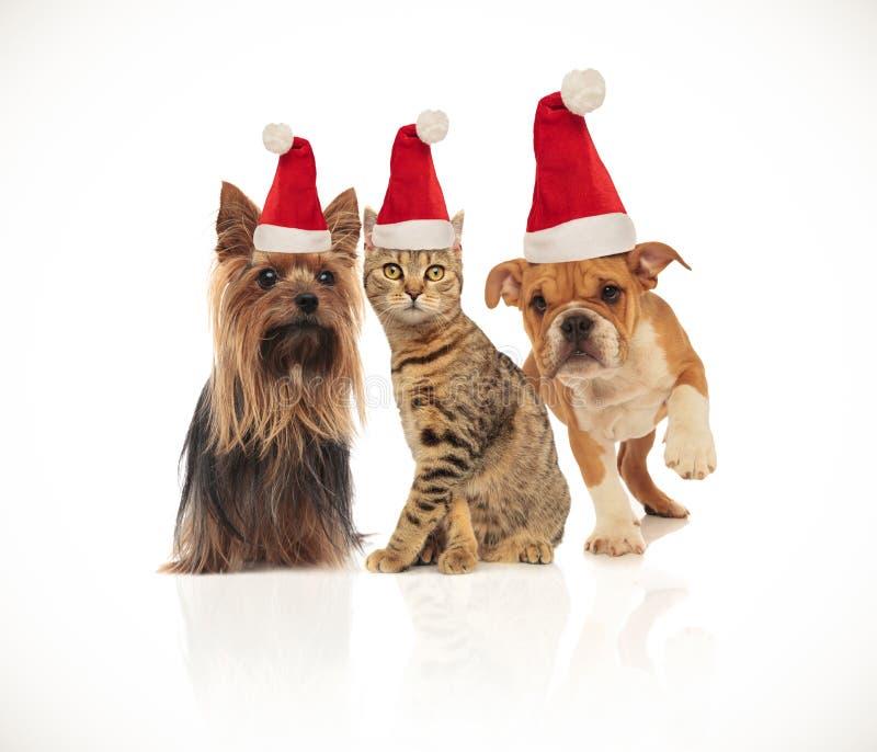 Equipe de três animais de estimação bonitos do Natal que vestem chapéus de Santa fotografia de stock