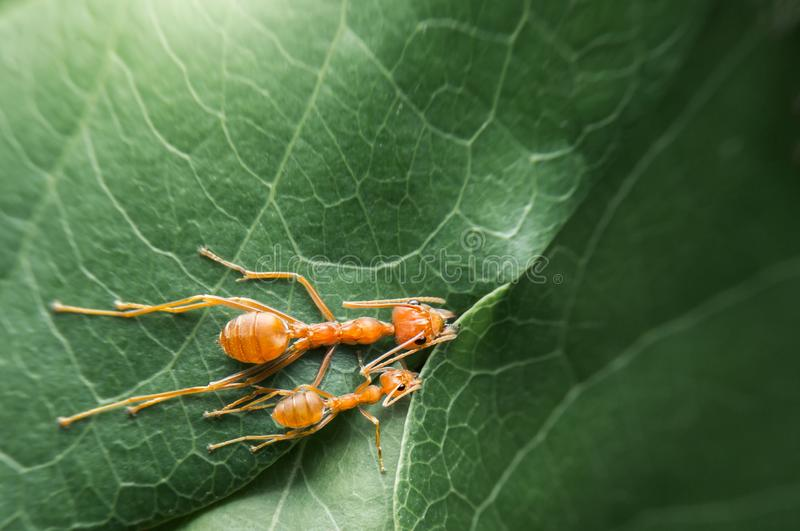 A equipe do foco seletivo de vista superior trabalha formigas vermelhas para criar seu ninho pela folha verde da ?rvore com o fun imagem de stock