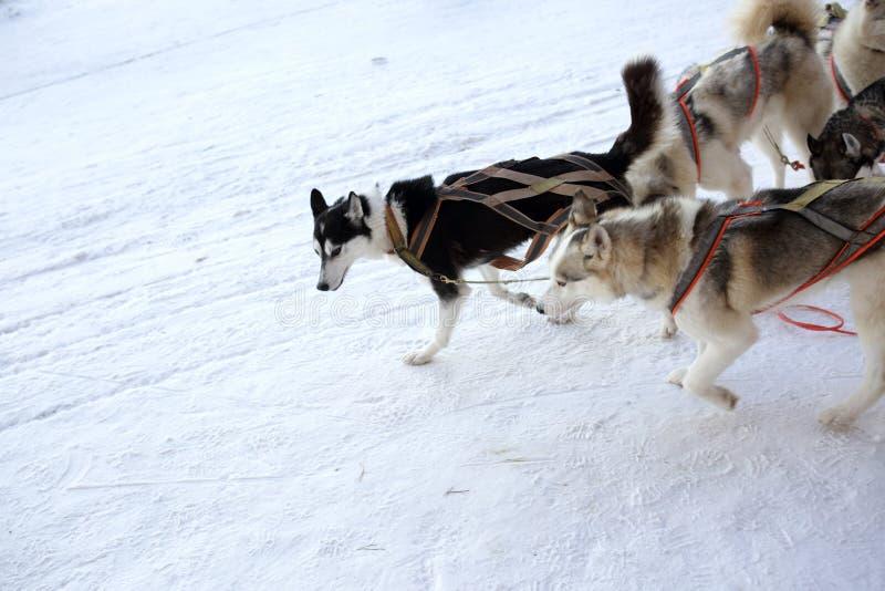 Equipe do trenó do cão dos cães de puxar trenós fotografia de stock royalty free