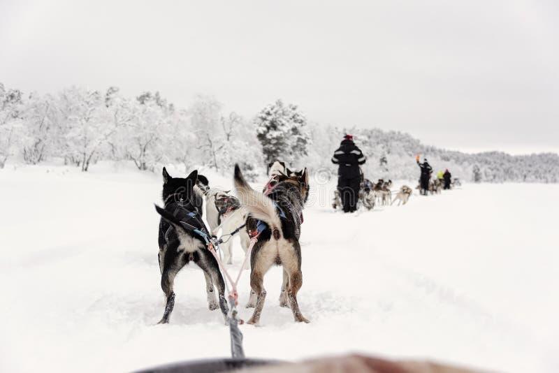 Equipe dos cães de puxar trenós que correm, vista do trenó imagem de stock