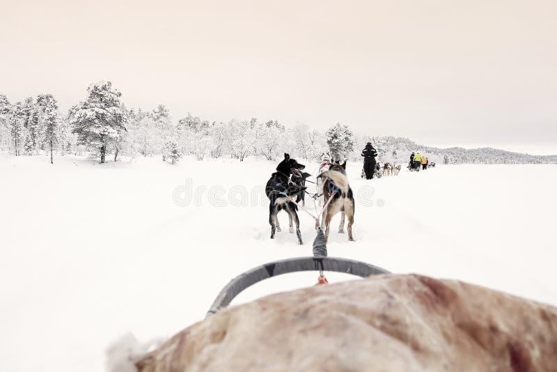 Equipe dos cães de puxar trenós que puxam atrás de uma linha de outros trenós sob um céu matizado cor-de-rosa, vista do trenó foto de stock royalty free