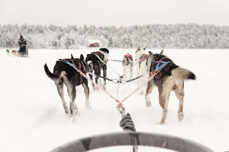Equipe dos cães de puxar trenós que puxam atrás de uma linha de outros trenós, vista do trenó imagem de stock royalty free