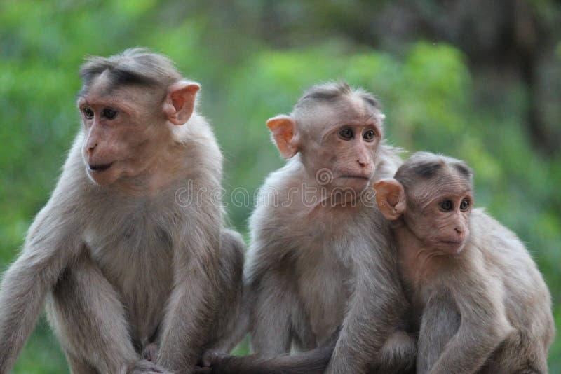 Equipe dos macacos fotos de stock