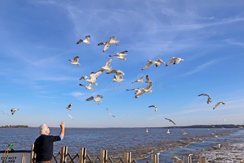 Equipe gaivota de mar de alimentação de um ferryboat de Jamestown-Escócia fotografia de stock