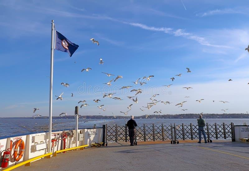 Equipe gaivota de mar de alimentação de um ferryboat de Jamestown-Escócia foto de stock