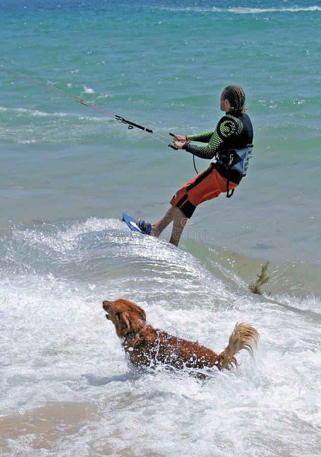 Equipe kitesurfing com o cão do retriever dourado que persegue o foto de stock royalty free