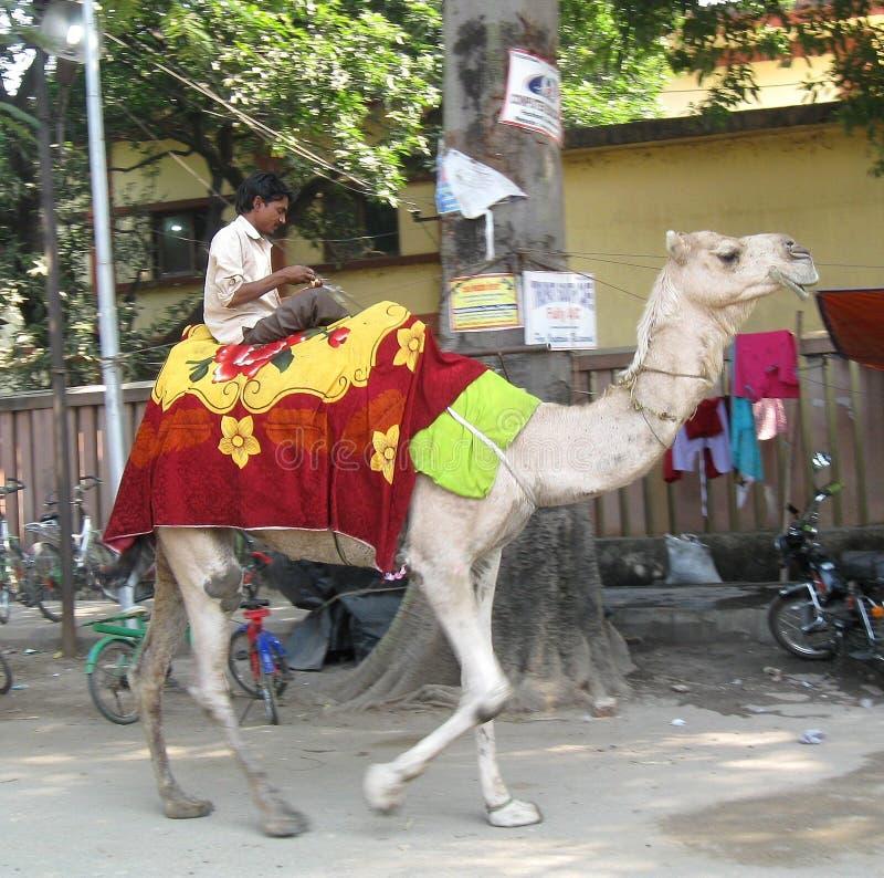 Equipe o camelo da equitação fora da Índia de Karma Tharjay Chokhorling Buddhist Temple Bodhgaya imagem de stock royalty free