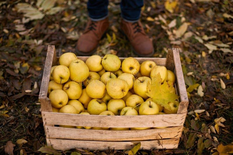 Equipe perto da caixa de madeira de maçãs douradas maduras amarelas na exploração agrícola do pomar O cultivador que colhe no jar foto de stock royalty free