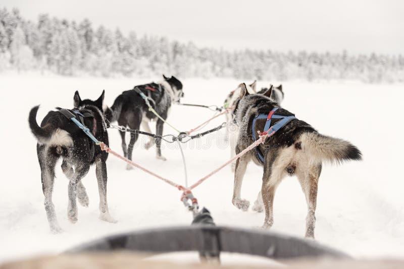 Equipe solitária dos cães de puxar trenós que puxam adiante, vista do trenó imagem de stock royalty free