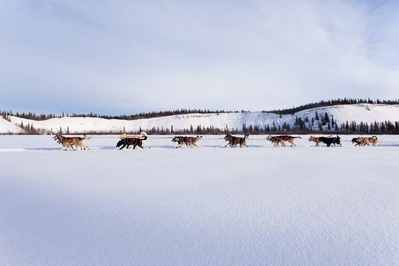 Equipo de Dogsled de huskyes siberianos hacia fuera mushing imágenes de archivo libres de regalías
