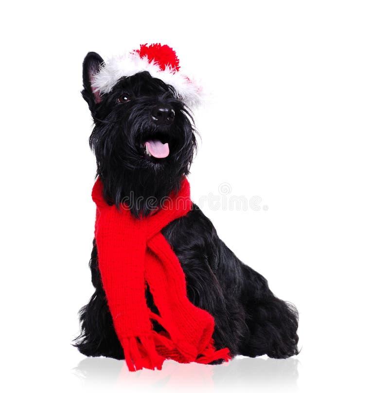 Equipo de la Navidad del terrier que lleva escocés negro imágenes de archivo libres de regalías
