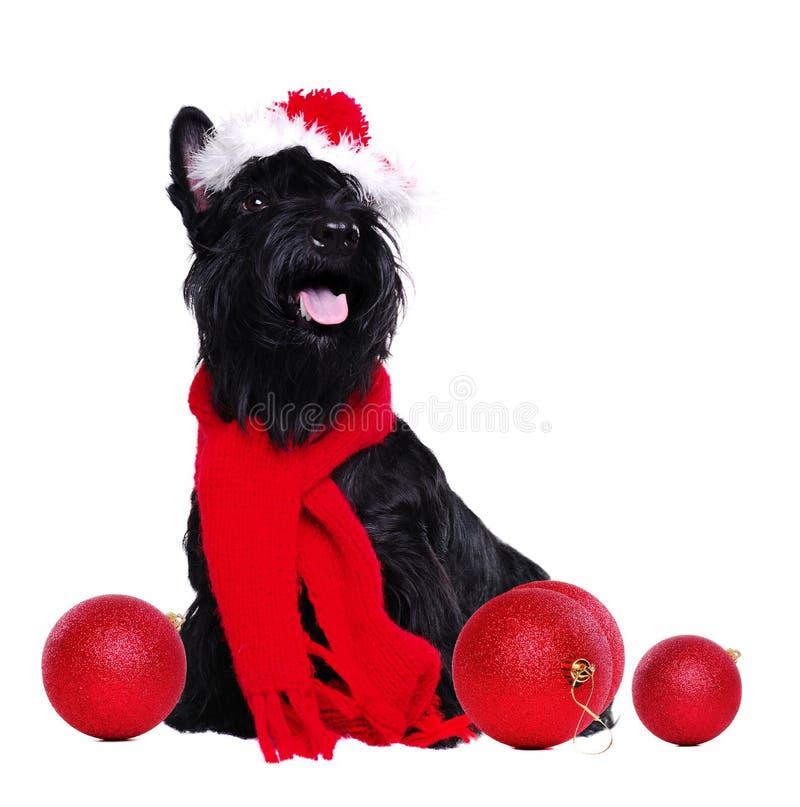 Equipo de la Navidad del terrier que lleva escocés negro imagen de archivo libre de regalías