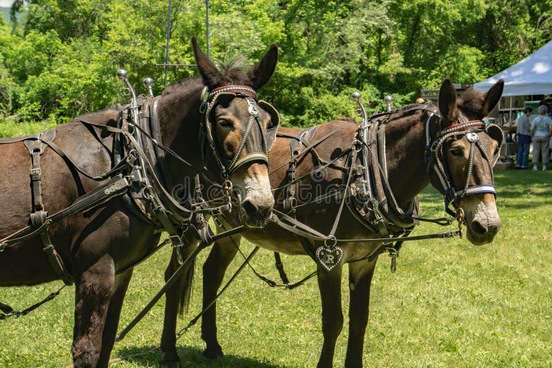 Equipo de mulas del proyecto en arnés imagen de archivo libre de regalías