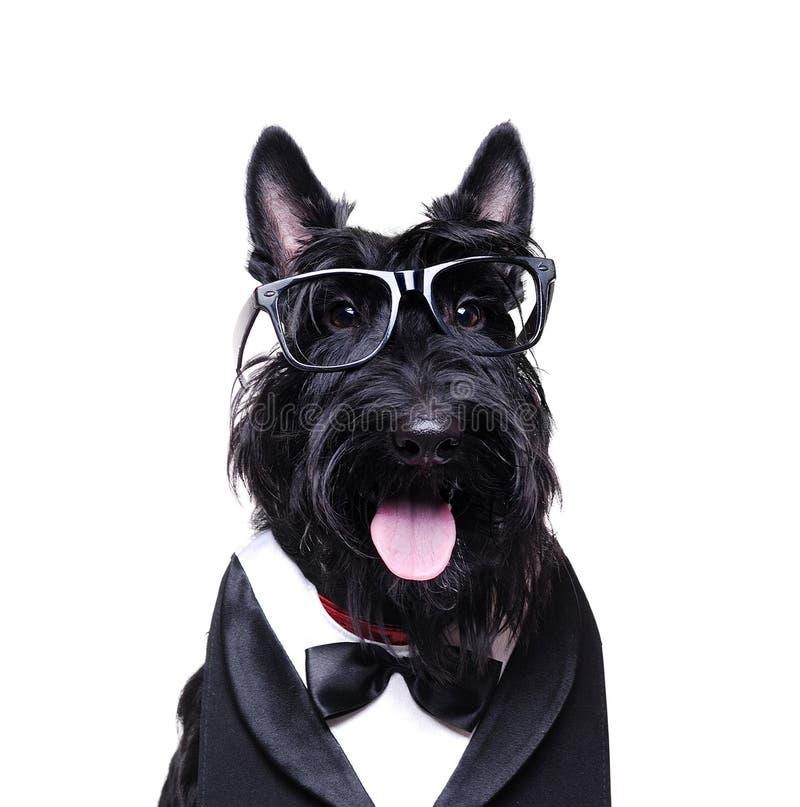 Equipo del negocio del terrier que lleva escocés negro fotos de archivo