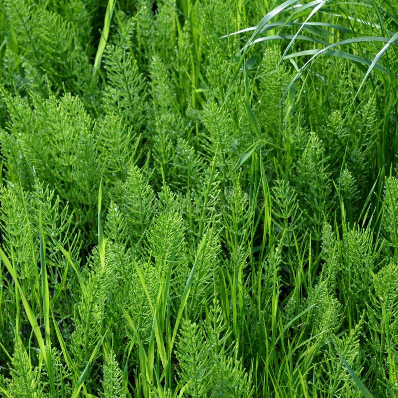 Equiseto dell'equiseto Fondo erbaceo verde intenso fotografia stock libera da diritti