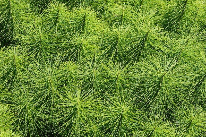 Equiseto di Herb Field immagini stock libere da diritti