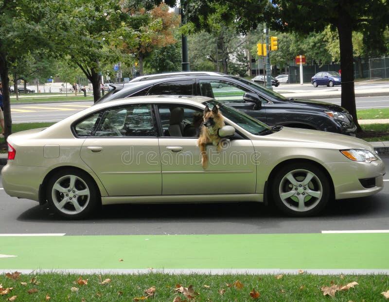 Equitação do cão no carro imagens de stock royalty free