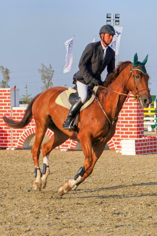 Equitación del jinete en el caballo rojo criado en línea pura, vertical imágenes de archivo libres de regalías