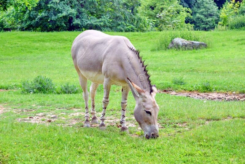 Equus asinus selvaggio somalo Somalicus dell'asino sul pascolo fotografie stock