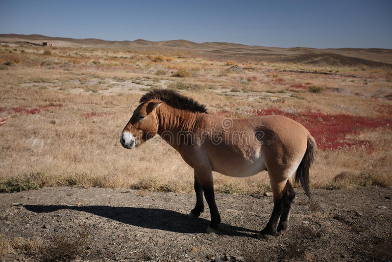 Download Equus ferus przewalskii stock image. Image of drinking - 21875843