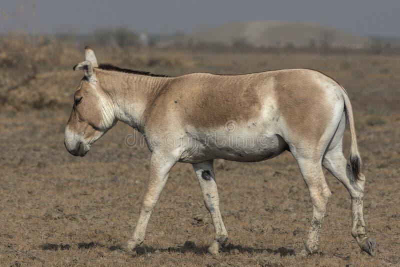 Equus hemionus khur indiano dell'asino selvaggio inoltre chiamato il Ghudkhur, il Khur o il primo piano indiano dell'onagro fotografia stock libera da diritti