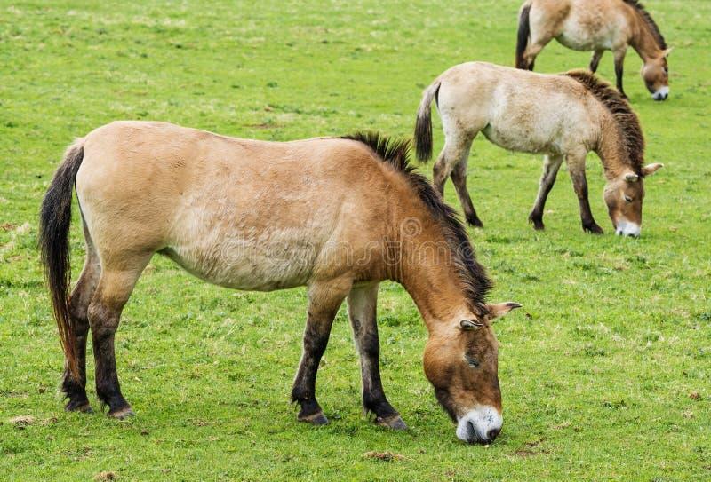 Equusprzewalskii - wild paarden royalty-vrije stock afbeelding