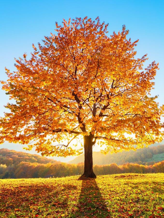 Er is een eenzame weelderige die boom op het gazon met oranje bladeren wordt behandeld waardoor de zonstralen glanzen De herfst l royalty-vrije stock foto's