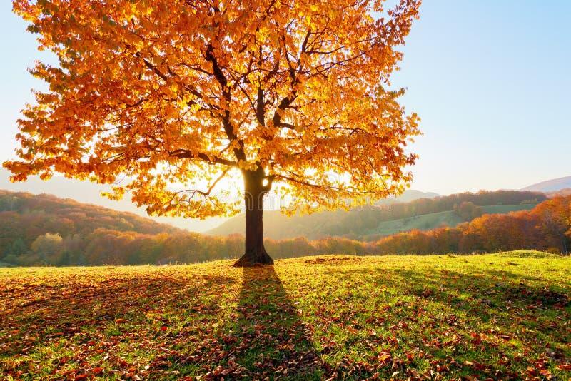 Er is een eenzame weelderige die boom op het gazon met oranje bladeren wordt behandeld waardoor de zonstralen glanzen De herfst l stock foto's
