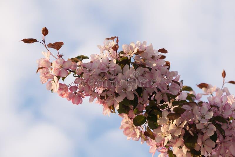 Er zal zeer kleine appelen op deze bloeiende boom in de herfst zijn stock afbeeldingen
