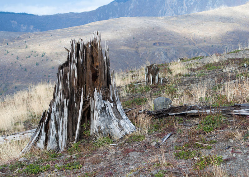 Eradicated forest at mount Saint Helens. Splintered tree stump blown of when volcano mount Saint Helens exploded and eradicated the surrounding forest stock images